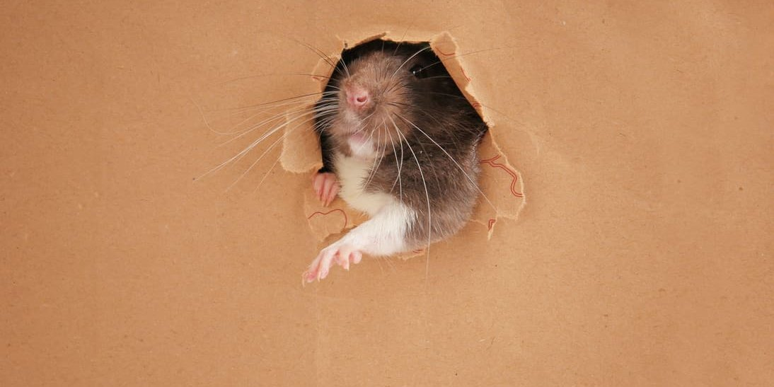 Rat Holes, Your Home, and Stopping a Rodent Invasion   Eco Bear