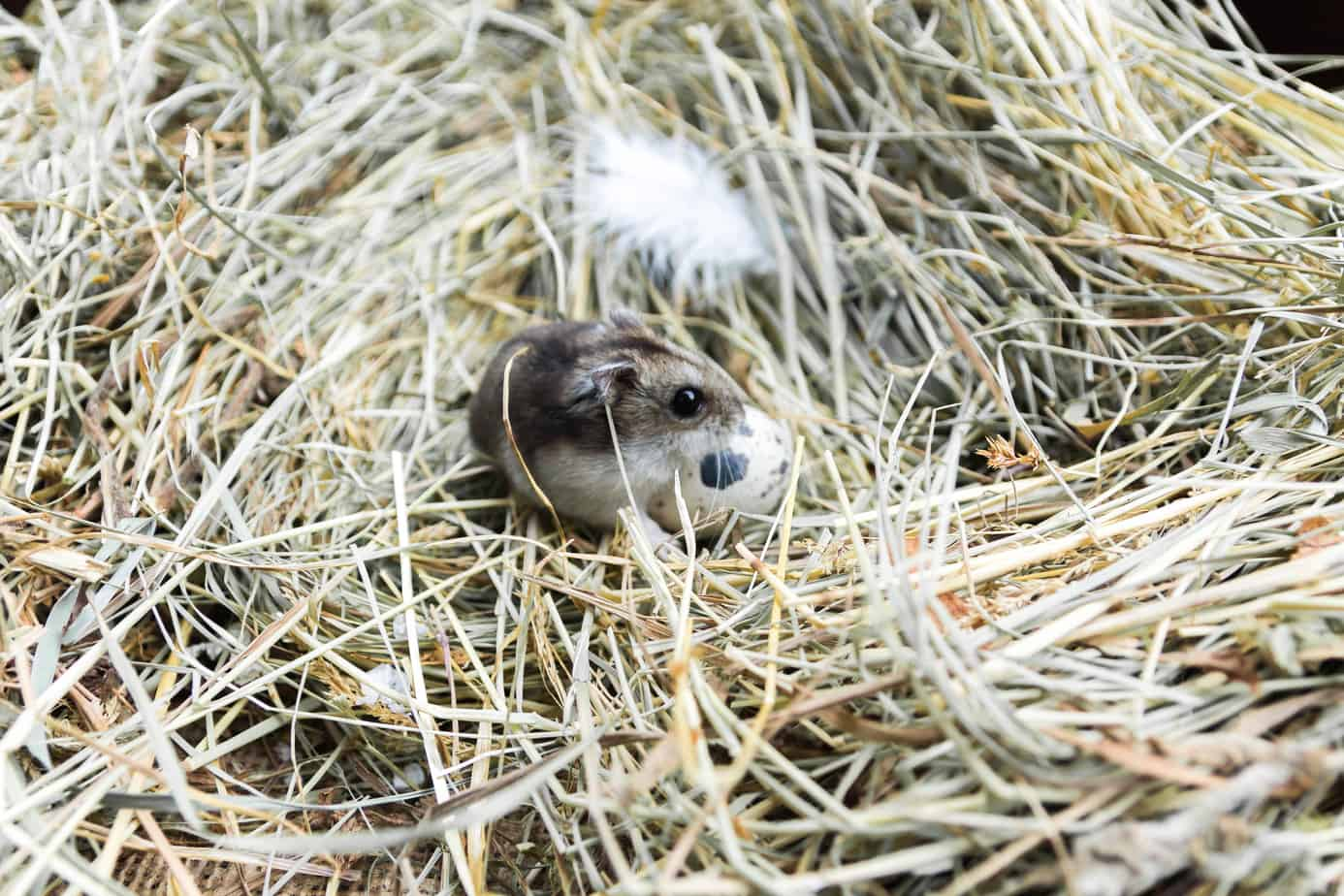 Mouse Nests Understanding Where Mice Reside To Protect Your Home
